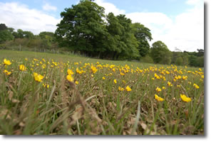 wet buttercup meadow close to the Esk
